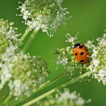 Ladybug-29