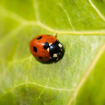Ladybug-31