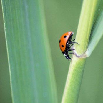 Ladybug-36