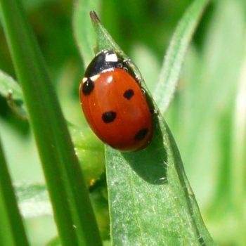 Ladybug-37