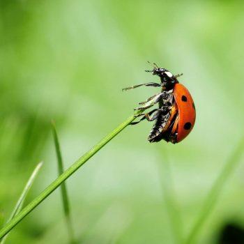 Ladybug-42