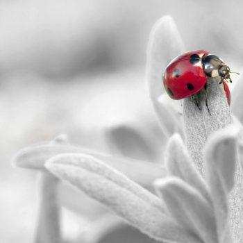 Ladybug-43