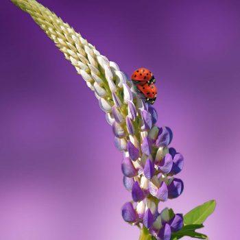 Ladybug-46
