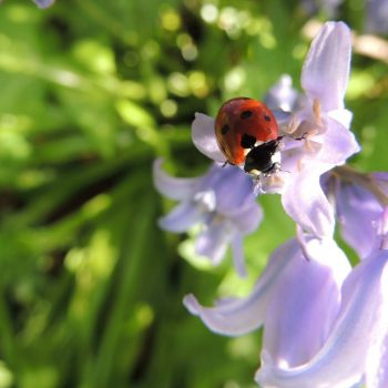 Ladybug-50