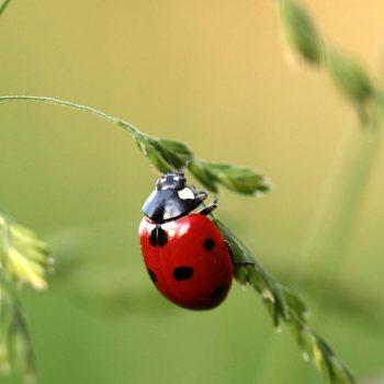 Ladybug-51