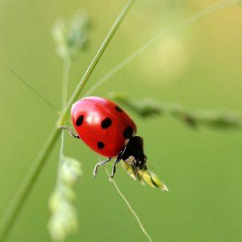 Ladybug-52
