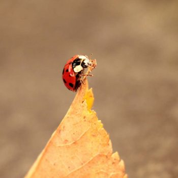 Ladybug-53