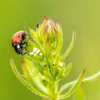 Ladybug-55