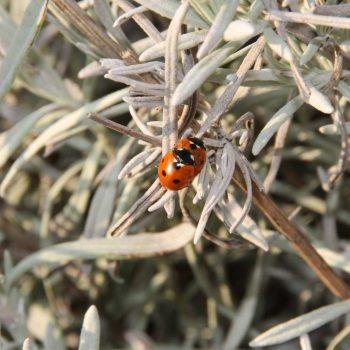 Ladybug-56